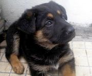 Продам не дорого щенок немецкой овчарки !!!
