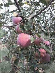 Продам яблоки оптом и в розницу за приемлемую цену